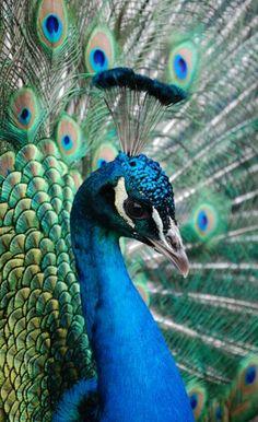 Cat Peacock Beautiful Art A3 A4 WUG FREE Shipping