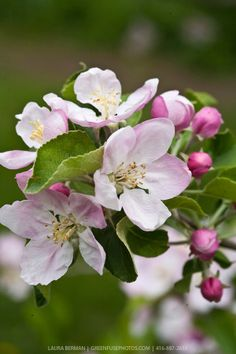and white apple blossoms on apple trees in an apple orchard in spring.Pink and white apple blossoms on apple trees in an apple orchard in spring. Apple Tree Blossoms, Apple Blossom Flower, Apple Flowers, Blossom Trees, Spring Blossom, Ikebana, Exotic Flowers, Beautiful Flowers, Garden Trees