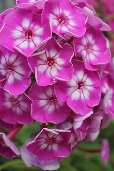 Phlox-my Grandmother had to plant a bed full of these for me so I'd stop picking her other flowers!