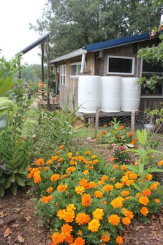 Three 50 gallon food-grade barrels store water that is collected from our metal roof | Homestead Honey
