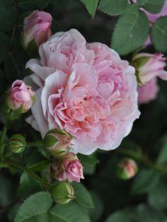 Emanuel, Shrub. English Rose Collection. David C. H. Austin 1984