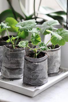 plantines de gerani o en tubo de p higiern