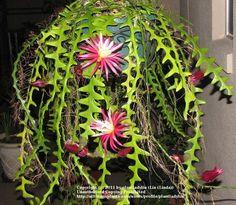 Cactus and Tender Succulents forum: My Selenicereus anthonyanus (Ric Rac Orchid Cactus) blooming. (National Gardening Association)