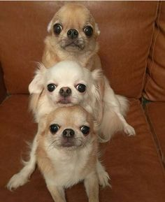 Effective Potty Training Chihuahua Consistency Is Key Ideas. Brilliant Potty Training Chihuahua Consistency Is Key Ideas. Chihuahua Love, Chihuahua Puppies, Cute Puppies, Dogs And Puppies, Cute Funny Animals, Cute Baby Animals, Pet Dogs, Pets, Doggies