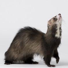 Furet américain : une espèce sous surveillance ! #furet #ferrets #furetamericain #monfufu.com