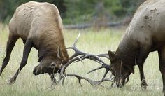 Elk Photograph - Survival Of The Fittest by Bob Christopher