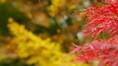 Deze tijd van het jaar zie je overal mooie herfstkleuren: geel, oranje, bruin en rood. Maar dat er zoveel rood is, is best uitzonderlijk. Reporter Kiara zoekt uit hoe dat komt.4 november 2016