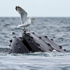 Seagull whale rest