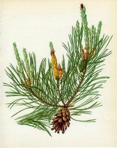 botanical drawings pinus - Buscar con Google