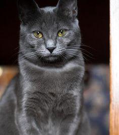 Resultados da Pesquisa de imagens do Google para http://www.breedtrust.com/sites/main/files/imagecache/full/photos/ChartreuxK_cc.jpg