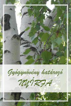 A Nyírfa népies neve:  Bibircses nyír, nyílfa.  Hogyan gyűjtsük a Nyírfa gyógynövényt?  Főként a nyírfa levelét, de a homeopátiában a fa kérgét is használják gyógyászati célokra. A levelet június-július folyamán gyűjtik. Betula Pendula, Medicinal Plants, Asparagus, Herbalism, Plant Leaves, Essential Oils, Herbs, Vegetables, Healthy