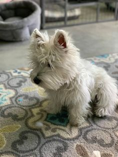 My 5 month old Albus❤️ Westies, Westie Puppies, Kittens And Puppies, Cute Puppies, Cute Dogs, Doggies, Animals And Pets, Baby Animals, Cute Animals