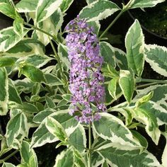 Buddleja davidii Harlequin (Butterfly Bush) A fast growing shrub which bears panicles of fragrant, red-purple flowers that are very attractive to butterflies. It is a woody plant that has yellow and green variegated foliage with spectacular blooms being borne in summer. The Harlequin variety is quite hardy and renowned for its continuous flowers into late summer