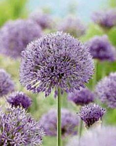 Allium. Zeer mooi in combinatie met vaste planten.