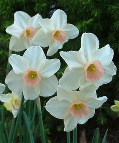 Jonquilla Narcissus Bell Song--Bell Song is a charming Grant Mitsch variety that opens with a crisp, pale pink cup against pale buff-yellow petals which whiten as they mature. It grows above its slender foliage. On a warm spring day, you will delight in its pale fragrance. 'Bell Song' is good for warmer climates.