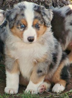 Mini Australian Shepherd! I think I found the dog I want...now it's time to convince Josh!