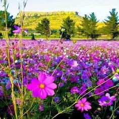Buy Flowers Online Same Day Delivery Ficksburg, Orange Free State, South Africa Cosmos Flowers, Wild Flowers, Purple Flowers, Beautiful World, Beautiful Places, Champs, South Afrika, Free State, Out Of Africa