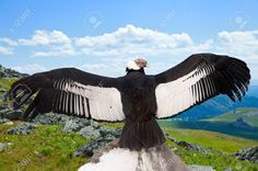 Picture of Andean condor (Vultur gryphus) in wildness area stock photo, images and stock photography. Condor Des Andes, Scavenger Birds, Andean Condor, California Condor, Wildlife Protection, Baby Horses, Biomes, Animal Wallpaper, Birds Of Prey