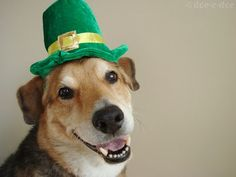 I have the luck of the Irish, but still digging for the leprechaun's gold -- Have a Happy St. Patrick's Day!  #goldendog