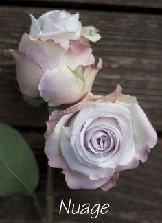 pale lavender rose