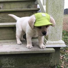 From @bbflabradors: Pondering the challenge #cutepetclub [source: http://ift.tt/2lMrCMN ]