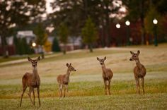 Typical daily visitors at Berry College in Rome, Ga. Watch out, or they will steal your picnic lunch right out of your hand. Berry College, Remember The Titans, Picnic Lunches, Mountain Trails, Georgia On My Mind, Sweet Home Alabama, College Campus, New Blue, Southern Belle
