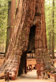 Redwood...Yosemite Park CA