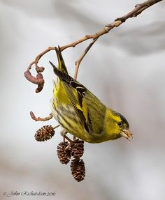 Siskins come in a range of colour variations, from all-over canary-yellow, to soft greys, to mottled black-white-and-brown, always with at least a dash of neon yellow