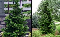 Slender Hinoki Cypress is a very attractive evergreen that has an open-branched, narrow pyramidal form with gracefully arching branchlets.