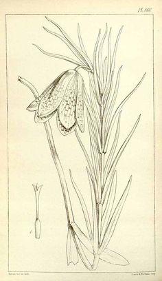 Fritillaria cirrhosa D. Don [as Fritillaria roylei Hook.]  / Hooker, W.J., Hooker, J.D., Icones Plantarum [Hooker's] Icones plantarum], vol. 9: t. 860 (1852) [W.H. Fitch]