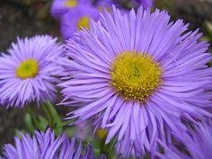 Introduit en 1914 et encore populaire.Plus connu sous le nom de 'Oil du Christ' ou encore marguerite d'automne.A une abondante floraison(1 à 5 cm )bleu lavande.Elle convient très bien dans des massifs dans lesquels on peut se faire de beaux bouquets aux couleurs chatoyantes. Cette aster, vigoureuse et robuste est très résistante aux parasites, et particulièrement à l'oïdium. Elle n'aime pas être planté en sol trop sec. Aster, Dahlia, Bouquet, Flower Power, Earth, Flowers, Plants, Totem Poles, Christ