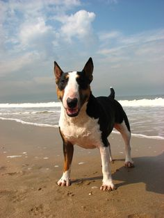 Bull Terrier I want one of these doggies reminds me of my favorite movie as a child the original frankeinweinie