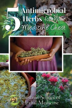 5 Antimicrobial Herbs for Your Medicine Chest // Blog Castanea  #herbalife #herbalism #coldsandflu #flu #antimicrobial