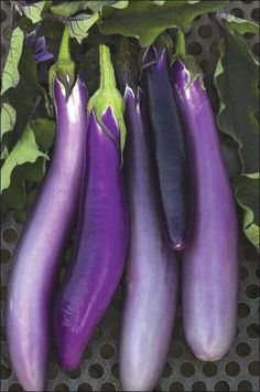 """Germ 5-14 days Asian Heirloom An open-pollinated oriental eggplant variety, imported from Taiwan. Fruits are elongated and slender, averaging 10"""" long and 1 1/2"""" to 2"""" across with a lovely, lavender-p"""