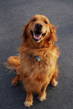 The holidays are on the way, and there's still time to find the perfect gift ideas for Golden Retriever lovers in your life. Here are ten holiday gift ideas that will have Golden Retriever lovers wagging their tails in celebration! Cute Puppies, Cute Dogs, Dogs And Puppies, Doggies, Beautiful Dogs, Animals Beautiful, Animals And Pets, Cute Animals, Dogs Golden Retriever