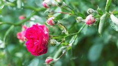 11rad, jak předcházet plísňovým chorobám rajčat: plísni bramborové (Phytophthora infestans)a plísni šedé(Botrytis cinerea) nebolo šedé hniloby rajčat Korn, Flowers, Plants, Flora, Plant, Royal Icing Flowers, Flower, Florals, Bloemen