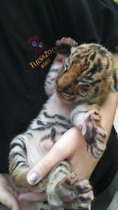 Malayan Tiger Cubs Bond with Mom at Tulsa Zoo! http://www.zooborns.com/zooborns/2014/08/malayan-tiger-cubs-bonding-with-mom-at-tulsa-zoo.html