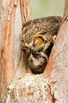Owl feeding baby