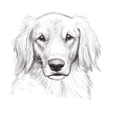 sketch golden retriever