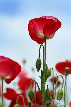 shirley poppy #1   Flickr - Photo Sharing!