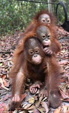 They've so far destroyed 1.7 million hectares in Kalimantan and neighbouring Sumatra, leaving orangutans with no natural environment