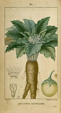 Flore medicale - Mandragore belladone sans tige