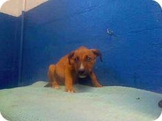 """URG'T ~~ PUPPY ~~ Los Angeles County: Lancaster  Pet ID #:4781031-A4464562  Phone:  (661) 940-4191   Let 'em know you saw """"A4464562"""" on Adopt-a-Pet.com!  E-mail:  Please call this shelter!  (They don't list their email address here)  Website:  http://animalcare.lacounty.gov  Address:5210 W. Ave. I  Lancaster, CA   93536"""