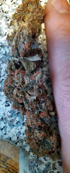 Look at the crazy color of the Master Kush #The best seeds #http://www.spliffseeds.nl/silver-line/blue-berry-seeds.html