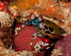 Peacock Mantis Shrimp  has some of the most complicated eyeballs on earth