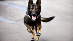 Pari the police dog goes on the same jobs as the AOS and now wears similar footwear to them too. Dog Boots, Police Dogs, Dog Wear, Cops, Nature Photography, Mosque, Safety, Germany, Animals