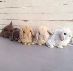 5 adorable Holland Lops