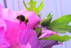 Blütenpollen satt: Gestern großes Gelage auf unserer Terrasse. Man hört sie zwar und sieht sie auch, aber aus der Nähe betrachtet, sehen die Blütenpollensammlerinnen und ihre Arbeit ganz spannend aus. Beobachtet, gestern Morgen auf unserer Terrasse.