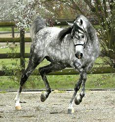 Thee Jesidi James — Arabian. Lovely dapple grey.