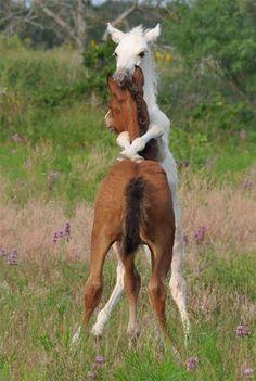 wrestling foals!